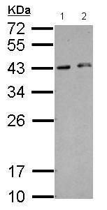 Western blot - Anti-HEXIM2 antibody (ab127710)