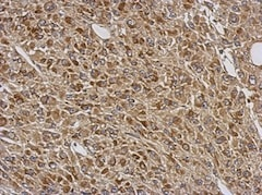 Immunohistochemistry (Formalin/PFA-fixed paraffin-embedded sections) - Anti-LRRC59 antibody (ab127912)