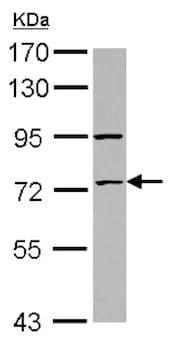 Western blot - Anti-ZNF530 antibody (ab127913)