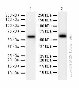 Western blot - Anti-CRMP2 antibody [EPR7792] (ab129082)