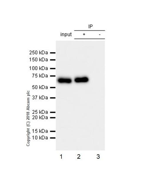 Immunoprecipitation - Anti-CRMP2 antibody [EPR7792] (ab129082)