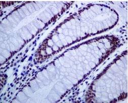 Immunohistochemistry (Formalin/PFA-fixed paraffin-embedded sections) - Anti-mSin3A antibody [EPR6780] (ab129087)