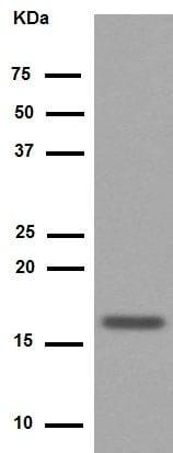 Western blot - Anti-HMGA1 antibody [EPR7839] (ab129153)