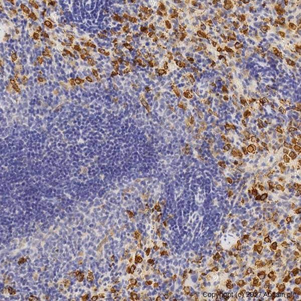 Immunohistochemistry (Formalin/PFA-fixed paraffin-embedded sections) - Anti-Heme Oxygenase 1 antibody (ab13243)