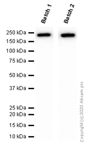 Western blot - Anti-CD11b antibody [EPR1344] (ab133357)