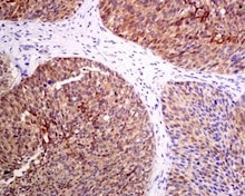 Immunohistochemistry (Formalin/PFA-fixed paraffin-embedded sections) - Anti-PKC delta (phospho S299) antibody [EPNCI119] (ab133456)