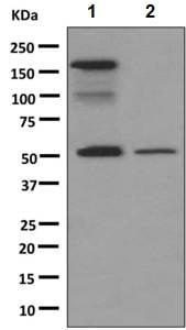 Western blot - Anti-IgG antibody [RIGG-69] (ab133470)