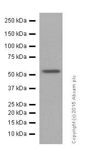 Western blot - Anti-nmt55 / p54nrb antibody [EPR5270] (ab133574)