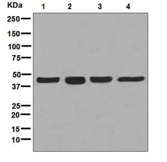 Western blot - Anti-CXCR5 antibody [EPR8837] (ab133706)