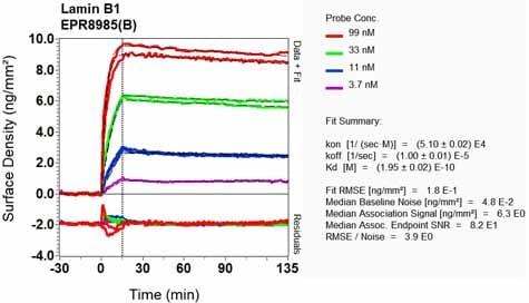 Other - Anti-Lamin B1 antibody [EPR8985(B)] (ab133741)