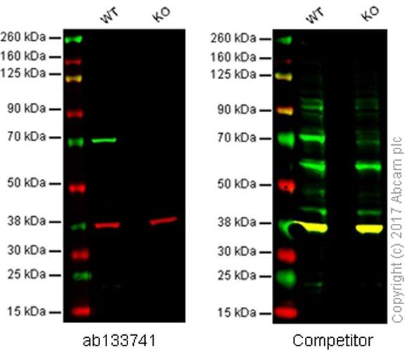 Western blot - Anti-Lamin B1 antibody [EPR8985(B)] (ab133741)