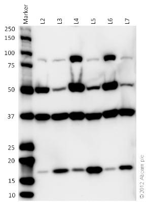 Western blot - Organelle Detection Western Blot Cocktail (ab133989) - Cross reactivity