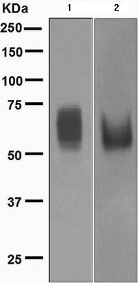Western blot - Anti-CD80 antibody [EPR1157(2)] (ab134120)