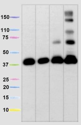 Western blot - Anti-MTCO1 antibody [1D6E1A8] (ab14705)
