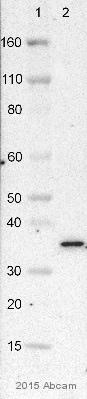Western blot - Anti-VDAC1 / Porin antibody [20B12AF2] (ab14734)