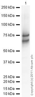 Western blot - Anti-Chromogranin A antibody (ab15160)