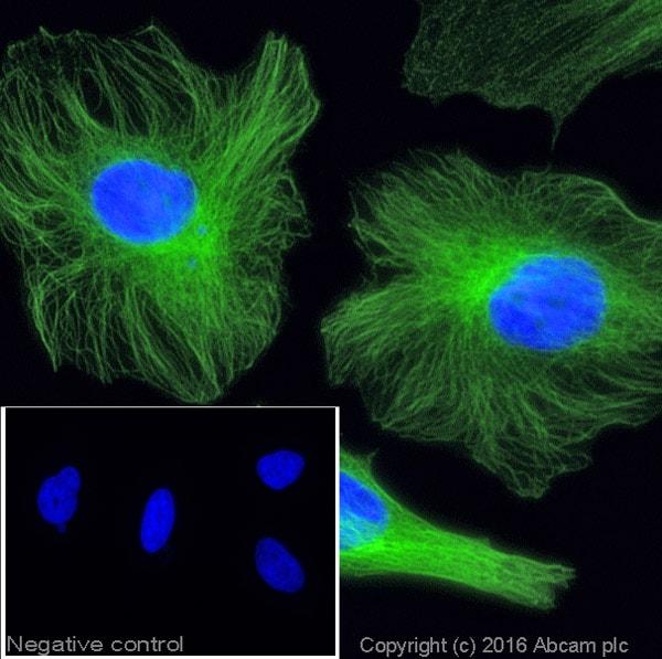 Immunocytochemistry/ Immunofluorescence - Donkey Anti-Rabbit IgG H&L (Alexa Fluor® 488) (ab150073)