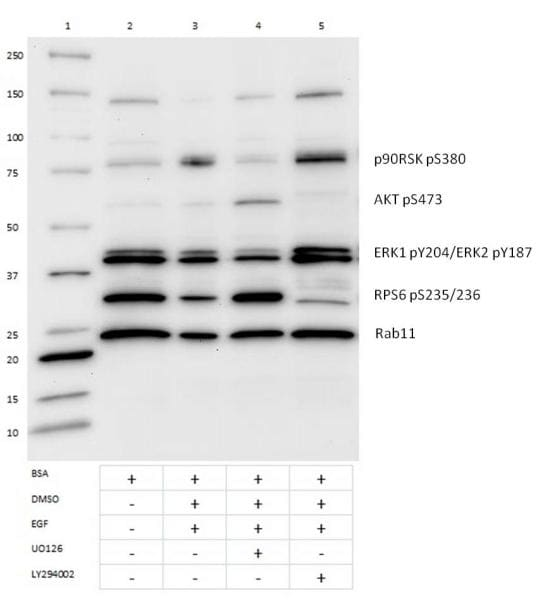 Western Blot for AKT/MAPK Signaling Pathway Cocktail- Specificity (HRP)