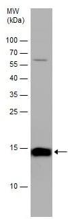 Western blot - Anti-Iba1 antibody (ab153696)