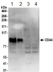 Western blot - Anti-CD44 antibody (ab157107)