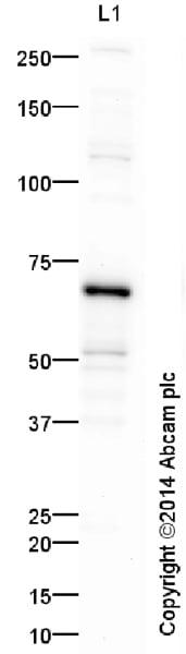 Western blot - Anti-NF-kB p65 antibody (ab16502)