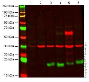 Western blot - Anti-CD3 antibody [SP7] (ab16669)