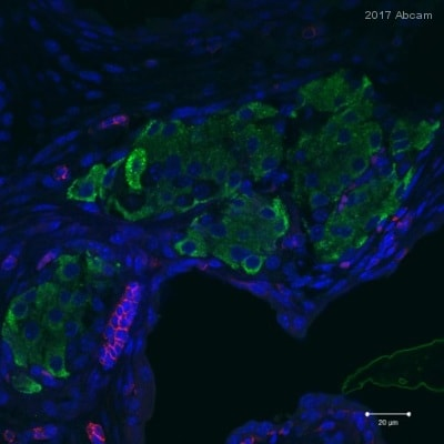 Immunohistochemistry (Formalin/PFA-fixed paraffin-embedded sections) - Anti-CD3 antibody [SP7] (ab16669)