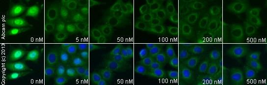 Immunocytochemistry/ Immunofluorescence - Anti-MDM2 antibody [2A10] (ab16895)