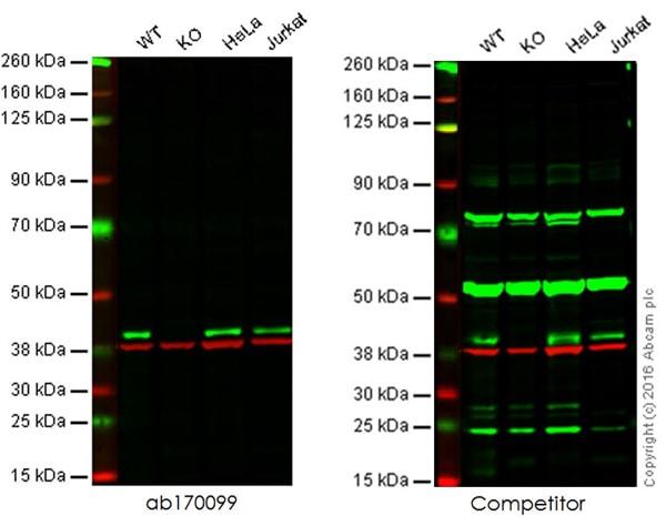 Western blot - Anti-p38 antibody [E229] (ab170099)