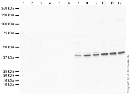 Western blot - Rabbit IgG, polyclonal - Isotype Control (ChIP Grade) (ab171870)