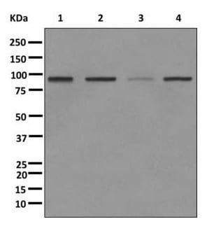 Western blot - Anti-SUZ12 antibody [EPR5234(N)] - ChIP Grade (ab175187)