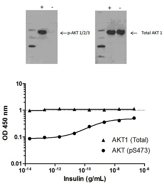 AKT (pS473) phosphorylation in response to insulin treatment.