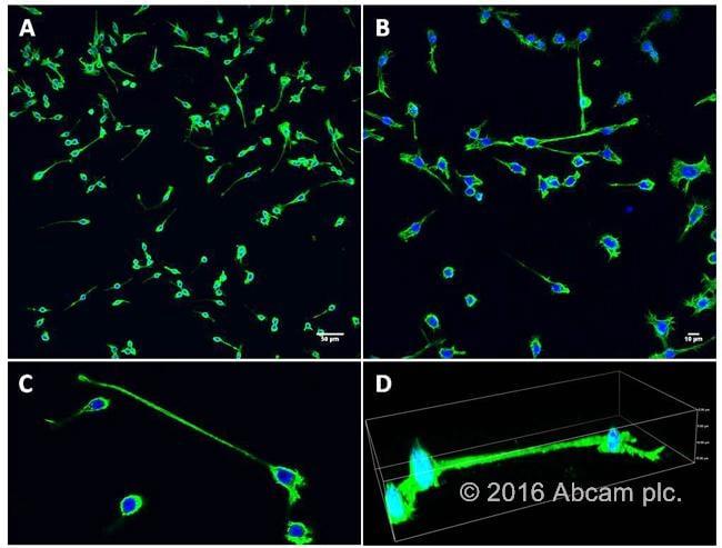 Phalloidin iFluor 488 staining of macrophages