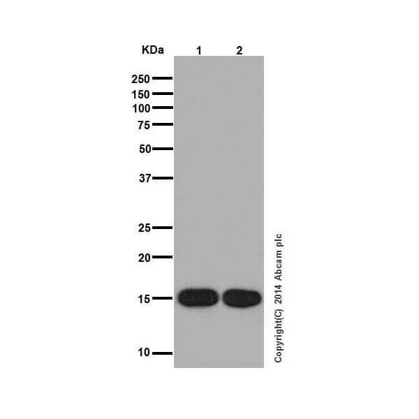 Western blot - Anti-Histone H3 (mono methyl K9) antibody [EPR16989] - ChIP Grade (ab176880)