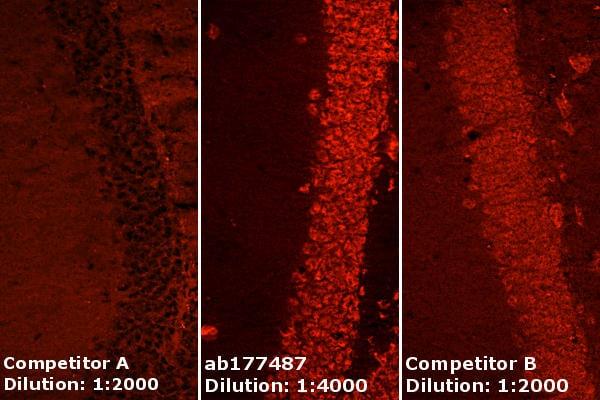 Immunohistochemistry (Frozen sections) - Anti-NeuN antibody [EPR12763] - Neuronal Marker (ab177487)
