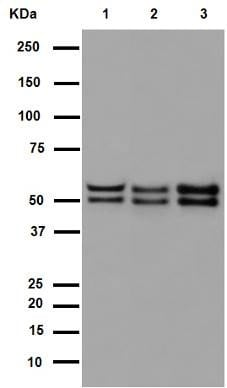 Western blot - Anti-NeuN antibody [EPR12763] - Neuronal Marker (ab177487)