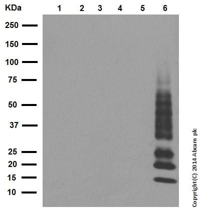 Western blot - Anti-Ubiquitin (linkage-specific K63) antibody [EPR8590-448] (ab179434)