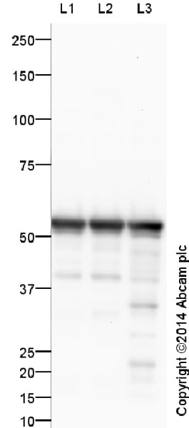 Western blot - Anti-beta III Tubulin antibody - Neuronal Marker (ab18207)