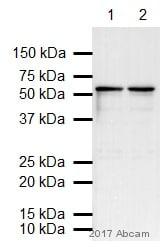 Western blot - Anti-beta III Tubulin antibody (ab18207)