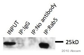 Immunoprecipitation - Anti-Rab5 antibody - Early Endosome Marker (ab18211)