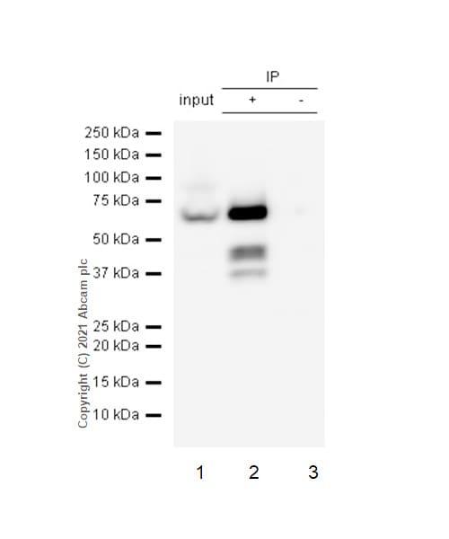 Immunoprecipitation - Anti-G3BP antibody [EPR13985(B)] (ab181149)