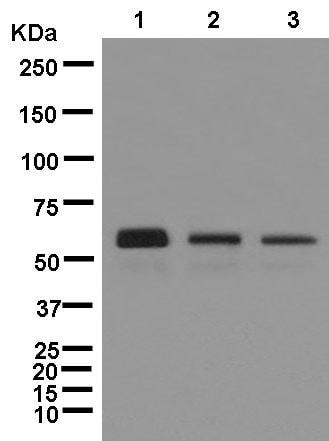 Western blot - Anti-Human IgG antibody [EPR12700] (ab181236)