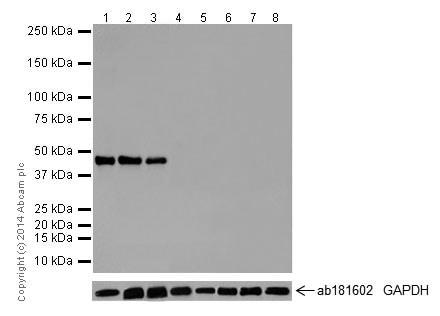 Western blot - Anti-Oct4 antibody [EPR17929] - ChIP Grade (ab181557)