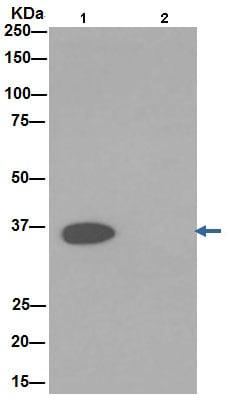 Immunoprecipitation - Anti-GAPDH antibody [EPR16891] - Loading Control (ab181602)