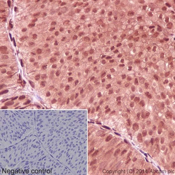 Immunohistochemistry (Formalin/PFA-fixed paraffin-embedded sections) - Anti-GAPDH antibody [EPR16891] - Loading Control (ab181602)