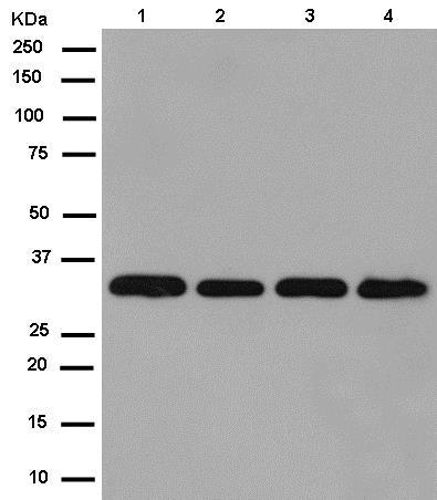 Western blot - Anti-RWDD1 antibody [EPR13715(B)] (ab181994)