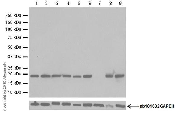 Western blot - Anti-Bax antibody [EPR18284] (ab182734)