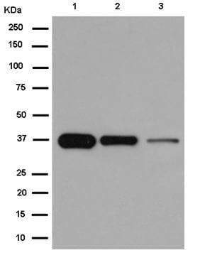 Western blot - Anti-N myc interactor/NMI antibody [EPR11065(2)] (ab183724)