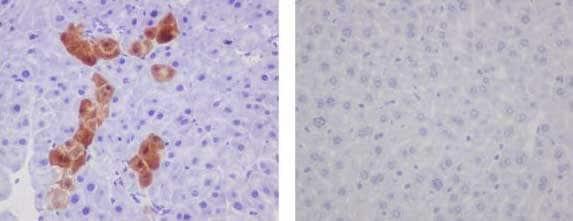 Immunohistochemistry (Formalin/PFA-fixed paraffin-embedded sections) - Anti-GFP antibody [EPR14104] (ab183734)