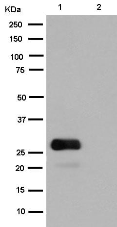 Western blot - Anti-GFP antibody [EPR14104-89] (ab183735)
